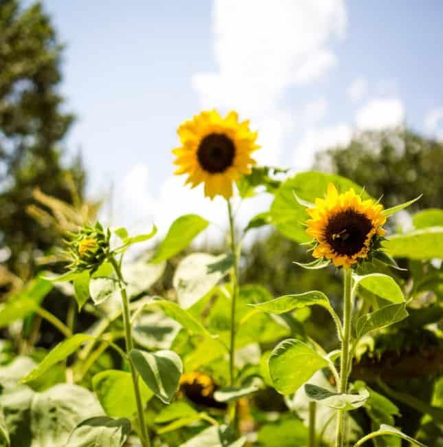 pro cut sunflowers in the garden