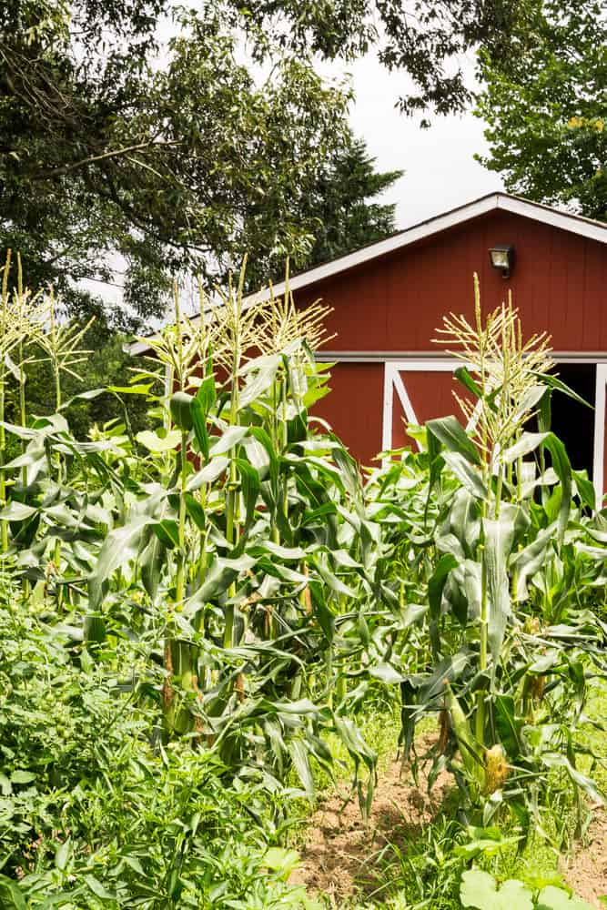 American dream corn in rows in front of red barn