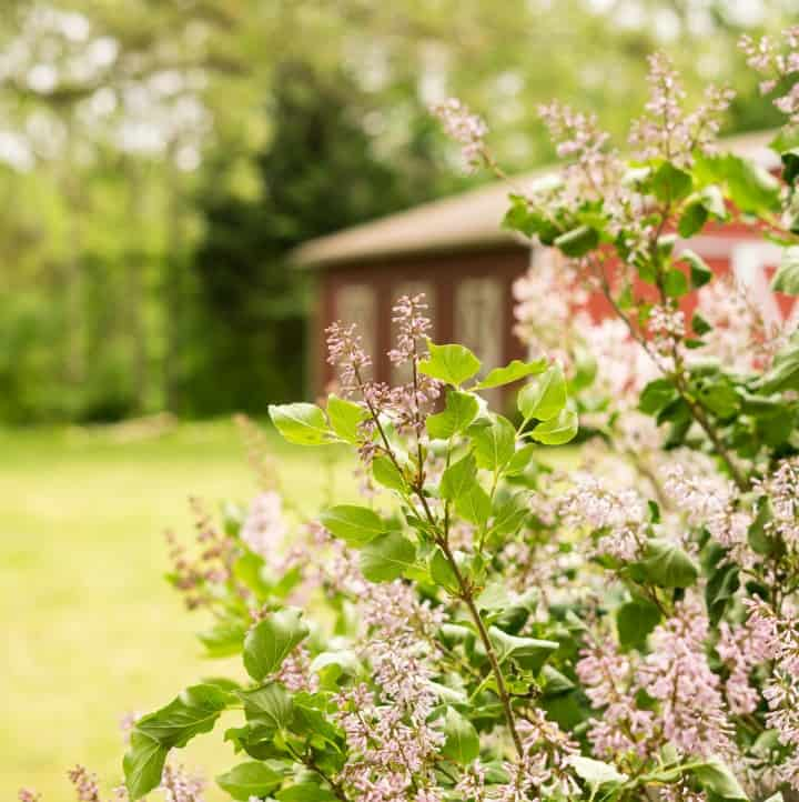lilac bush in bloom with red barn in background