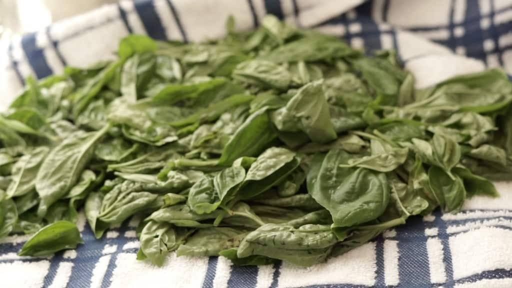 fresh basil leaves being prepped for dehydrator on blue and white towel