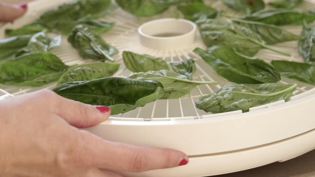 dehydrator tray with fresh basil leaves in single layer being stacked