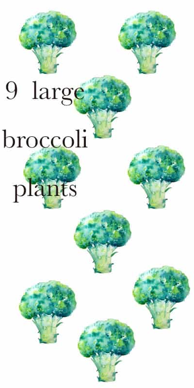 raised bed of all broccoli