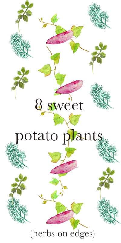 sweet potato plants edged with kitchen herbs