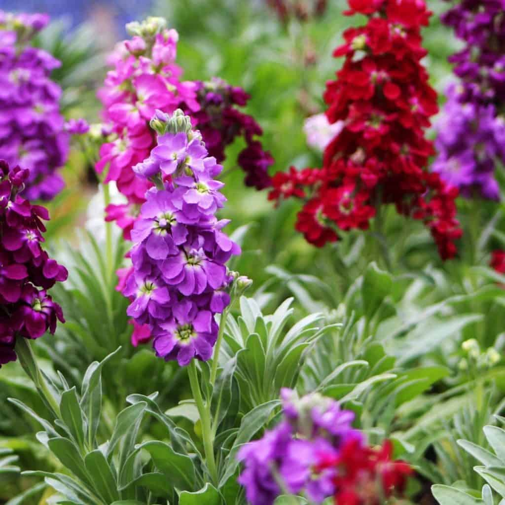 purple and red stock flowers in cutting garden