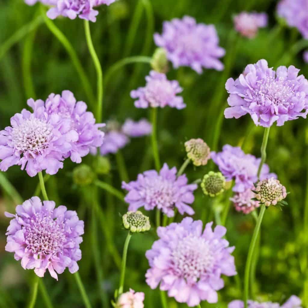 purple scabiosa flower