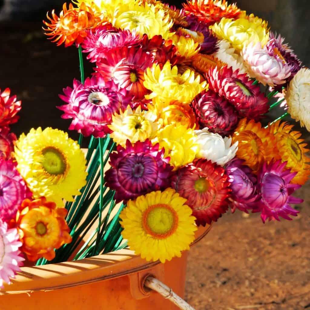 yellow, red, and orange strawflower