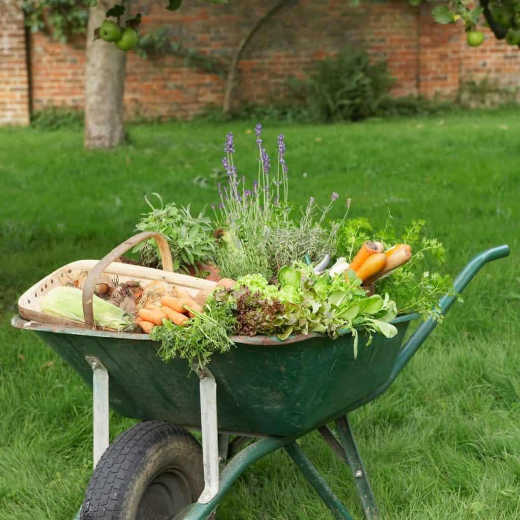 vegetable garden produce in a wheelbarrow