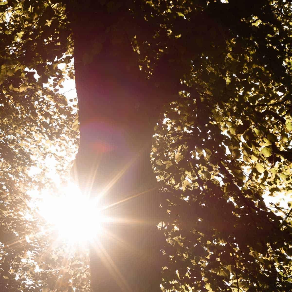 big tree with sun shining through