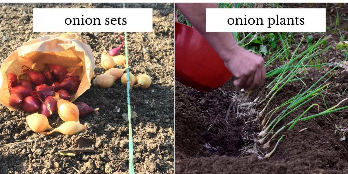 grid image showing onion setson the left and onions transplants on the right.