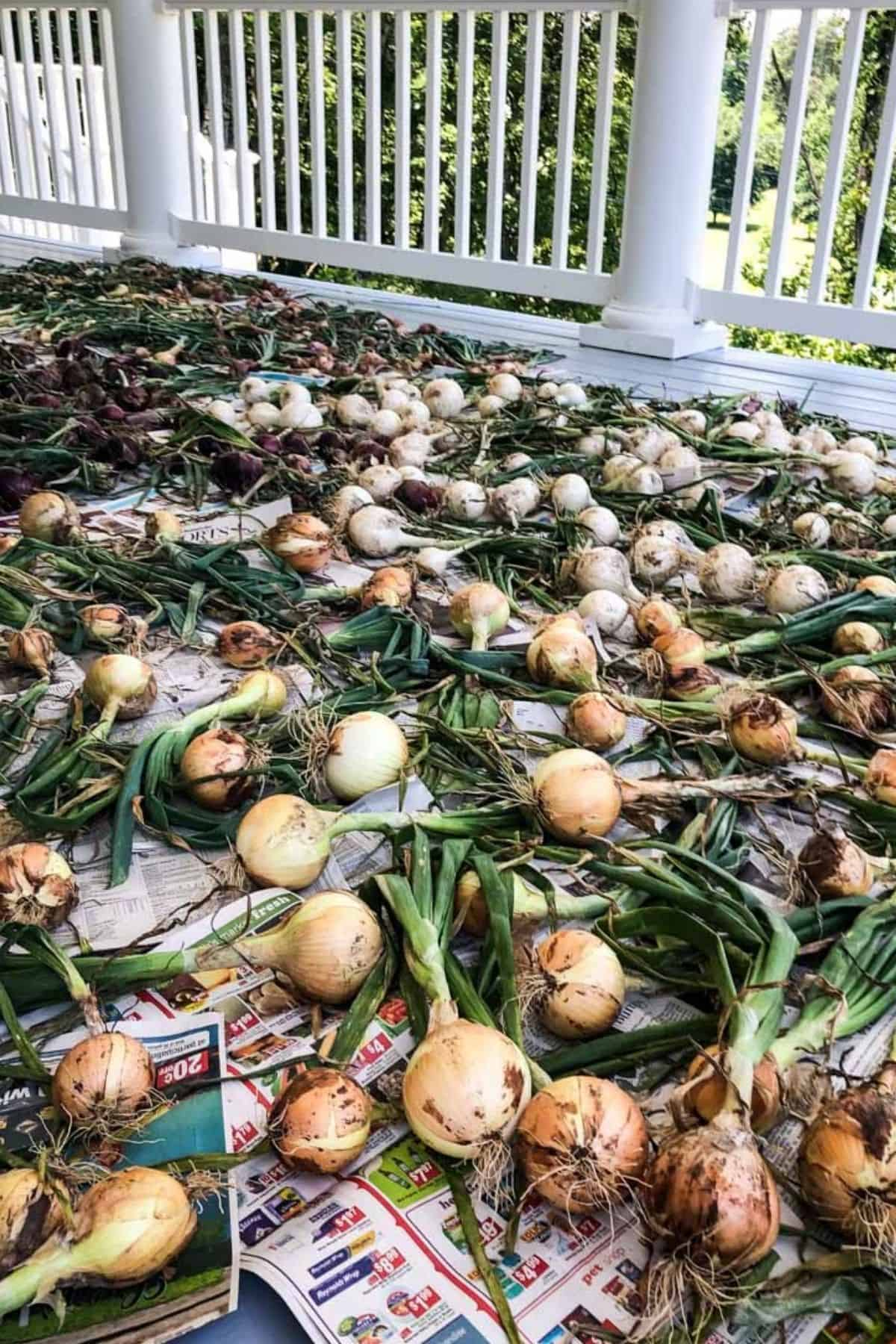 dozens of homegrown onions drying on porch